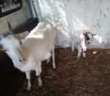Koza kozu i jare 135km koze jaradi