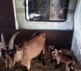 Koza kozu alpska i dvoje jaradi koze jare