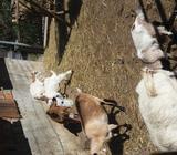 6 koza i 7 jaradi