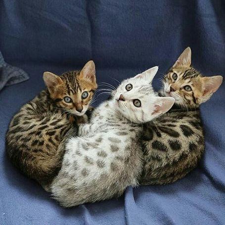 Slatki bengalski mačići dostupni