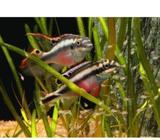 Kribenzis -Pelvicachromis pulcher