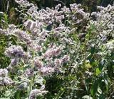 Nana menta čaj tinktura ljekovite biljke stomak prah