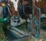 Krava 2 tele