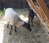 Romanovska ovca i jagnje