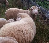 Ovca ovce