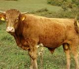 Goveda bik