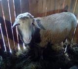 Prodajem ovna moze zamjena za koze