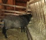 Romanovski ovnic