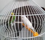 Par papagaja tigrica sa kavezom