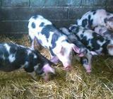 Svinje prasci od 25 kg