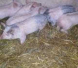 Prasici prasad krmci svinje