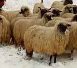 Ovce pramenka 18.kom