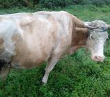Krava simentalka mirna uredna 550kila vodila muze se za