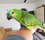 Papagaj Amazonac plavoceli