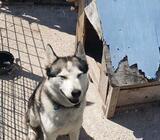 Husky pas 2 godine
