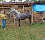 Kobila krizanac lipicanera i posavca